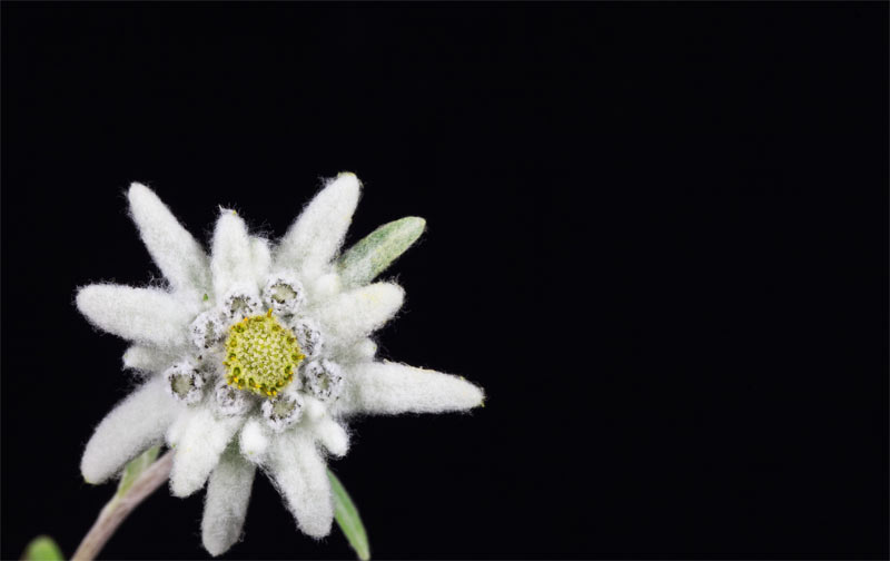 soin-panacee-edelweiss